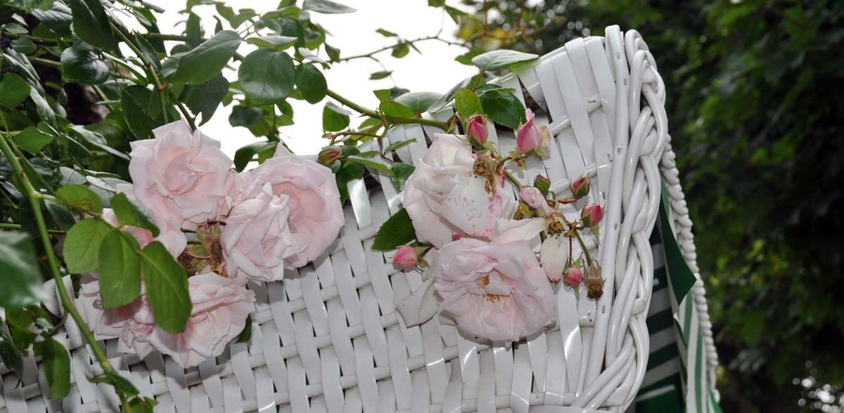 Strandkorb-mit-duftenden-Rosen