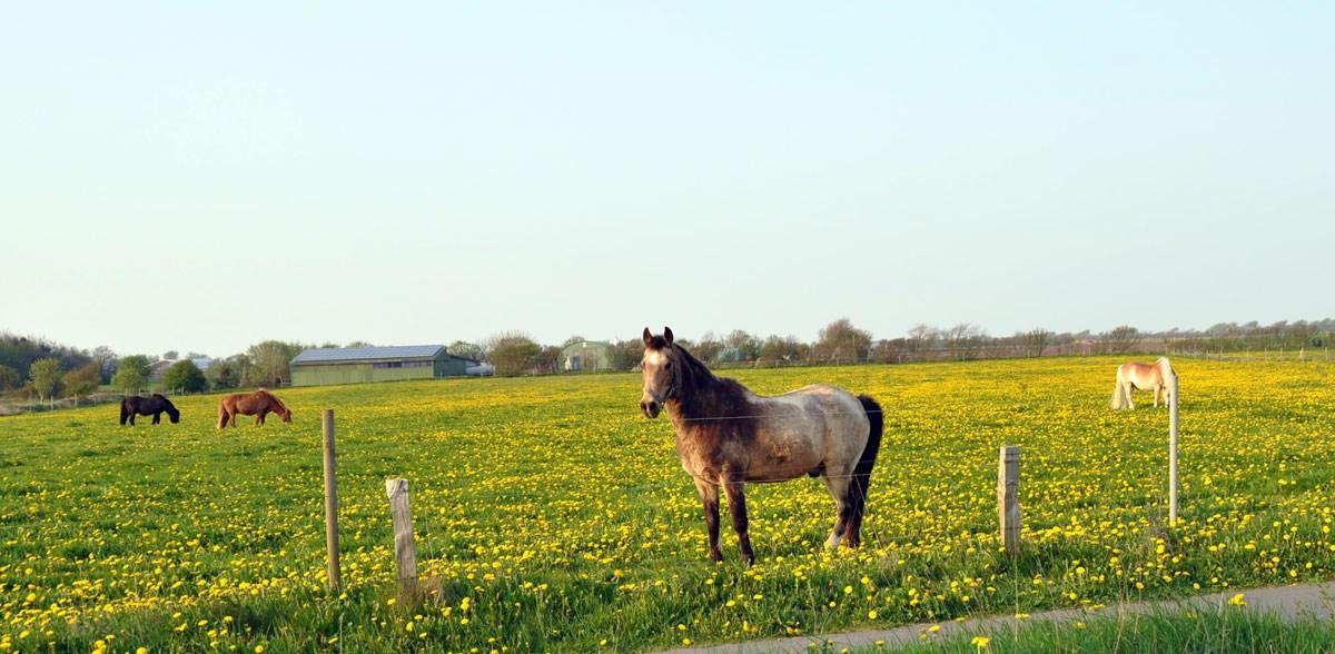 Nieblum—das-Paradies-fuer-Pferdefreunde